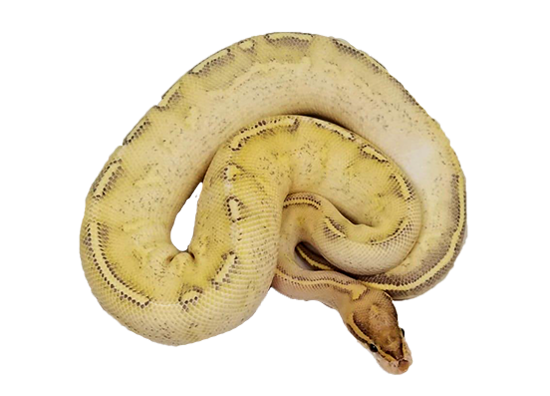 Freeway Ball Python