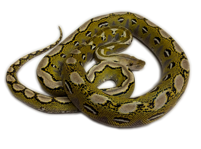 Picture of Male Platinum Reticulated Python